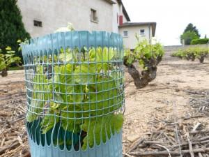 Jeune pied de vigne
