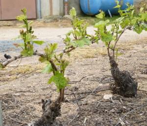 Développement des feuilles